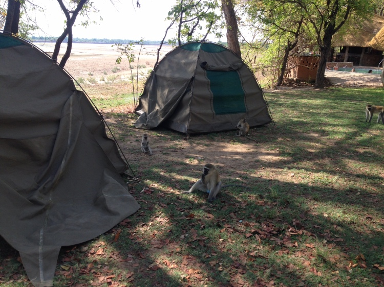 Those darn monkeys by our tents in Africa